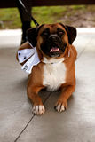 Boxer dressed  up as the best dog at a wedding ceremony. A dog dressed as the best man at a wedding Stock Images