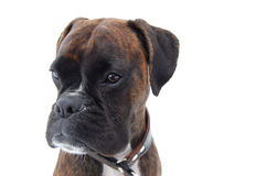 Boxer face. Brindle boxer in the snow Royalty Free Stock Photography