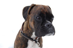 Boxer face. Brindle boxer in the snow Royalty Free Stock Images
