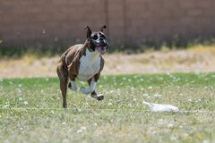 Boxer with his lips flying chasing a lure. Boxer on the fast cat lure course with his lips and spit flying everywhere royalty free stock photo