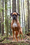 Boxer in the forest. This boxer poses for the camera as it takes a break on a winter hike Stock Photos