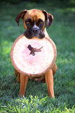 Boxer with frisbee. Fawn boxer holding a Frisbee in mouth sitting in grass Royalty Free Stock Image