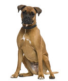 Boxer, in front of white background Stock Images