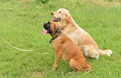 Boxer and golden retriever portrait Stock Photo