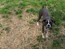 Boxer In The Grass. This photograph depicts a Reverse Brindle Boxer surrounded by patches of hay and grass Stock Photo