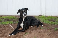 Black boxer greyhound mixed breed lays on dirt with a stick. Boxer greyhound mixed breed black dog sits with a stick in the yard,  She is sitting on dirt with Stock Photo