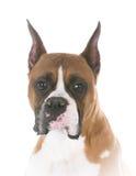 Boxer head portrait Stock Photography