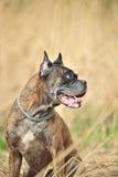 Boxer-Hund lizenzfreies stockbild