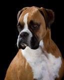 Boxer-Hund auf Schwarzem lizenzfreies stockbild