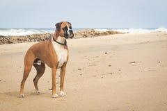 Boxer-Hund auf Strand lizenzfreie stockfotografie