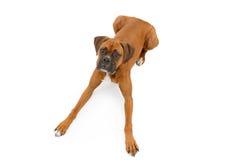 Boxer-Hund, der mit den Fahrwerkbeinen ausgedehnt niederlegt Lizenzfreie Stockfotos