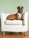 Boxer-Hund im Stuhl Stockfoto