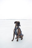 Boxer dog with harness. Boxer dog in harness sat on white ice Stock Images