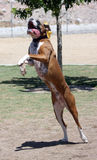 Boxer jumping for his toy. A happy boxer jumping for his toy at the park royalty free stock photography