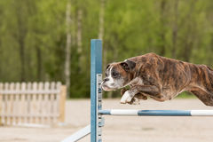 Boxer jumps over an agility hurdle Stock Image
