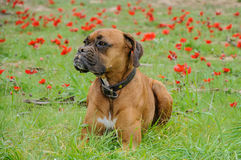 Boxer lays on a green meadow of  flowers Stock Photos