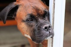 Boxer in deep thought. This Boxer looked like she was just in deep thought as the boxer did not move or flinch as I walked by. The breed is very playful and full stock photos