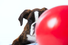 Boxer looking behind a ball Royalty Free Stock Image