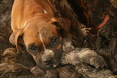 Boxer Mama. Boxers birth. Boxer and 9 puppies Stock Photography