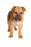 Boxer Mastiff Puppy Royalty Free Stock Photos