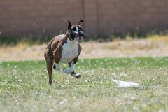 Boxer mit seinen Lippen, die einen Köder jagend fliegen lizenzfreies stockfoto