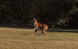 Boxer mix dog playing Stock Photo