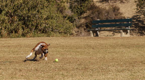 Boxer mix dog playing Royalty Free Stock Image