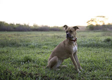 Boxer mix dog. Sitting alert in a field Stock Photos