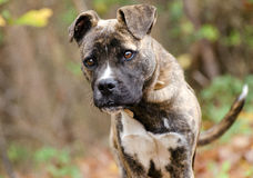 Boxer Mix Puppy Stock Photos