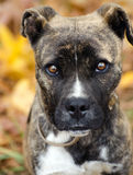 Boxer Mix Puppy Stock Photos