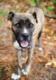 Boxer Mix Puppy Stock Image