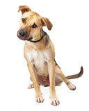 Boxer Mix Puppy Sitting Tilting Head Royalty Free Stock Photos