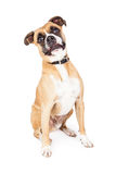Boxer Mixed Breed Funny Expression Royalty Free Stock Photo