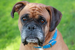 Boxer outside on grass Stock Photo