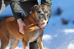 Boxer on owner hands Royalty Free Stock Photography