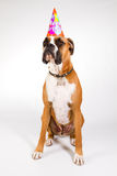 Boxer in a party hat. Boxer dog wearing a Happy Birthday party hat Royalty Free Stock Images