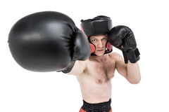 Boxer performing upright stance. On white background Stock Photography