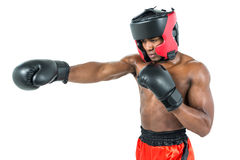 Boxer performing upright stance. On white background Stock Images