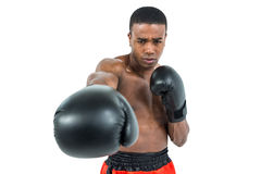 Boxer performing upright stance. On white background Stock Photos