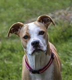 Boxer Pit Bull mixed breed dog Stock Photo