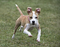 Boxer Pit Bull mixed breed puppy Royalty Free Stock Photography