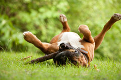 Boxer plays with his stick. Happy dog photographed outside in the forest royalty free stock images