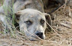 Boxer Plott Hound Pitbull mixed breed dog laying down Royalty Free Stock Photos
