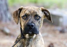 Boxer Plott Hound Pitbull mixed breed dog Stock Image