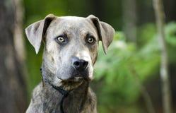 Boxer Plott Hound Pitbull mixed breed dog Stock Photo