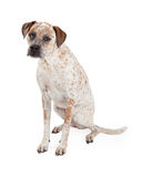Boxer and Pointer Mix Dog Sitting. A cute Cattle Dog, Boxer and Pointer mixed breed dog sitting to the side and looking forward Stock Photo