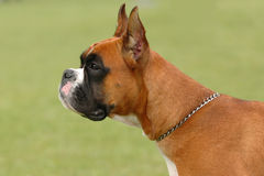 Boxer portrait Royalty Free Stock Image