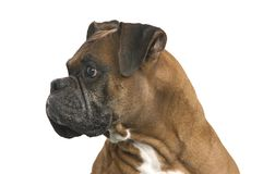 Boxer profile. Profile of boxer, male 5 yrs old Royalty Free Stock Photo