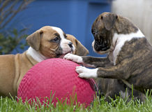 Boxer Puppies Playing With Red Ball Royalty Free Stock Photography