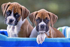 Boxer puppies. Two Boxer Puppies , eight week old, sitting together in basket stock photo